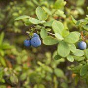 blauwe bosbesblad
