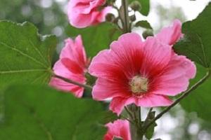 Hibiscus-Hibiscus-rabdariffa