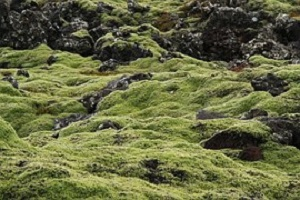 IJslands-mos-Cetrara-islandica