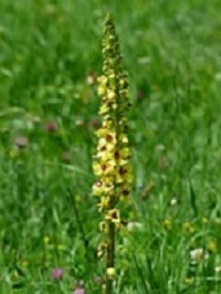 Koningskaars-Verbascum-thapsus