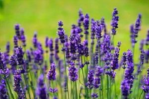 Lavendel-Lavendula-officinalis
