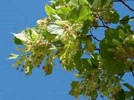Linde-Tillia-platyphyllos