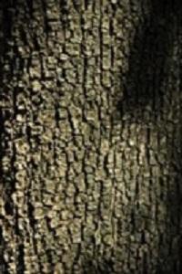Lindespint-Tillea-platyphyllos