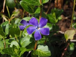 Maagdenpalm-Vinca-minor