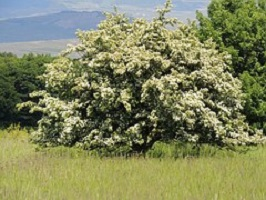 Aubepine (Crataegus monogyna)