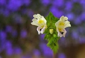 Ogentroost-Euphrasia-officinalis
