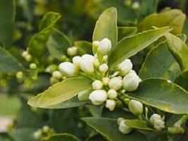 Oranjebloesem-Citrus-aurantium