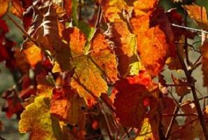 Rode-wingerd-Vitis-vinifera