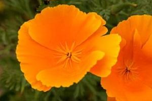 Slaapmutsje-Eschscholzia-californica