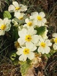 Primvère (Primula veris)