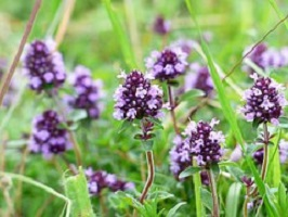 Serpolet (Thymus vulgaris)