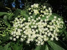 vlierbloesem (Sambucus nigra)