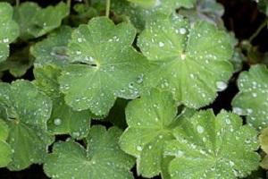 Alchemille (Alchemilla vulgaris)