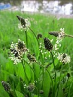 Plantain (plantage  lanceolata)