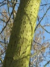 wilgenbast-Salix-alba